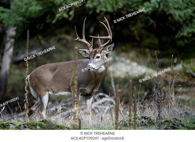 Male Whitetail Deer, Odocoileus virginianus, Central Idaho, USA