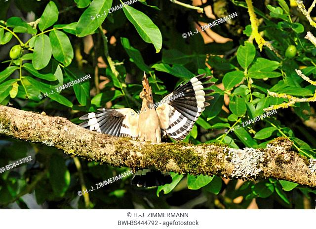 hoopoe (Upupa epops), with splayed wings sitting on branch with food in the bill, Germany