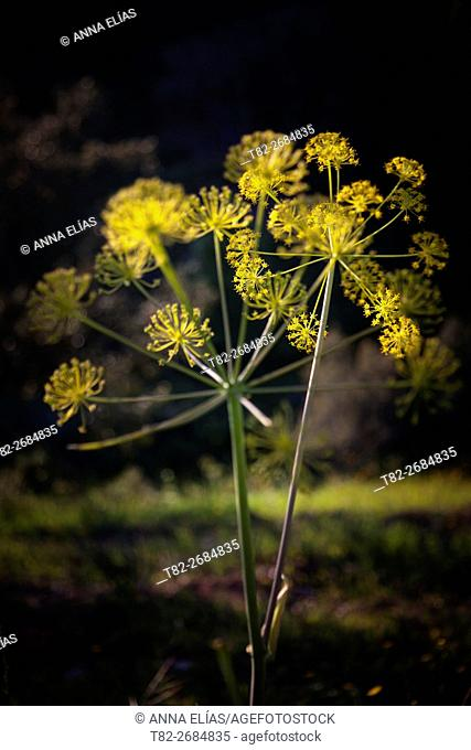 Backlit yellow flower Fennel Foeniculum vulgare on Mount, Alentejo, Portugal, Europe