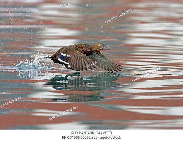 Steller's Eider Polysticta stelleri adult female, taking off from water, Northern Norway, march