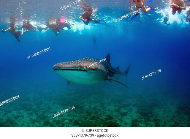 Tourists looking at a whale shark Rhincodon typus, swimming near the surface, South Ari Atoll, The Maldives
