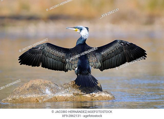 Cormorant.Phalacrocorax carbo.Guadiana river.Badajoz province.Extremadura.Spain