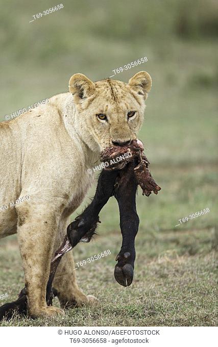 Lion. Panthera Leo. Kenia. Africa