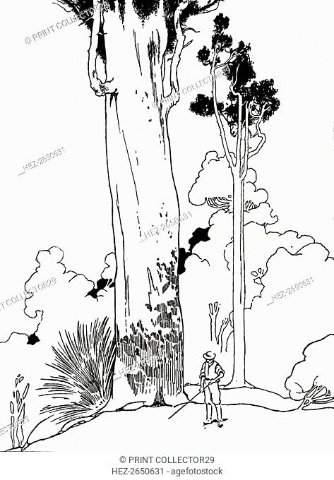 'A Kauri Tree', 1912. Artist: Charles Robinson