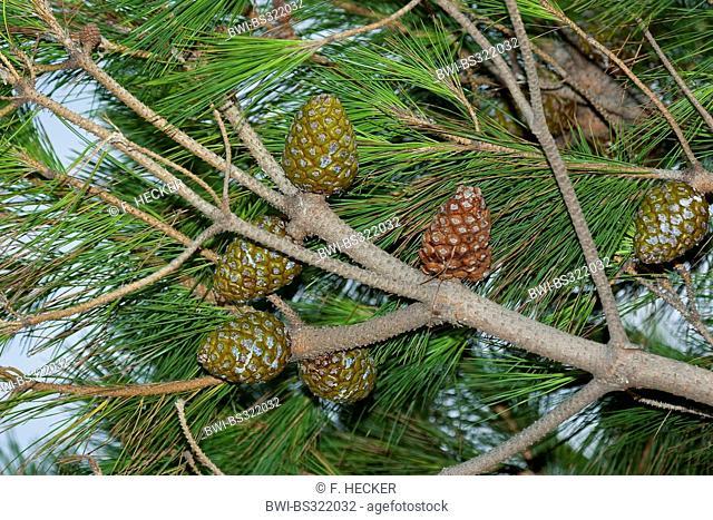 Stone pine, Italian Stone pine, Umbrella Pine (Pinus pinea), cones on a branch, Italy