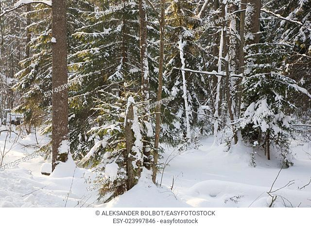 Mixed stand in sunny wintertime morning with snow wrapped old trees,Bialowieza Forest,Poland,Europe