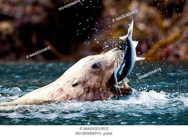 Sea Lion catches fish