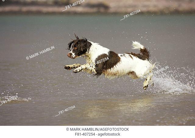 Springer Spaniel dog running through water, Scotland, UK