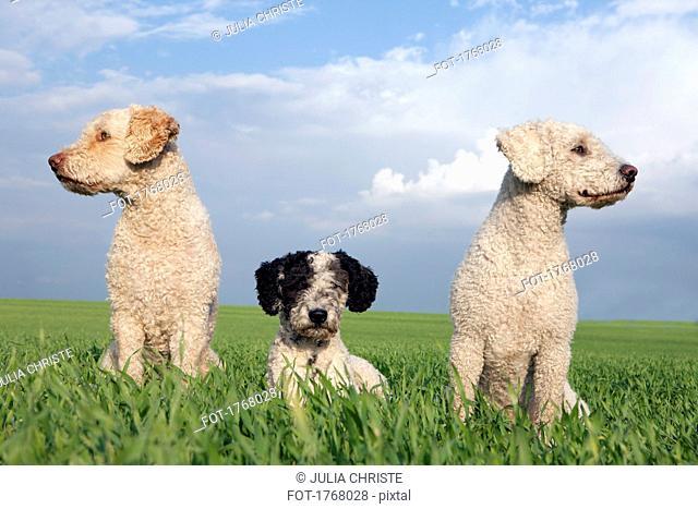 Dogs in sunny, rural field