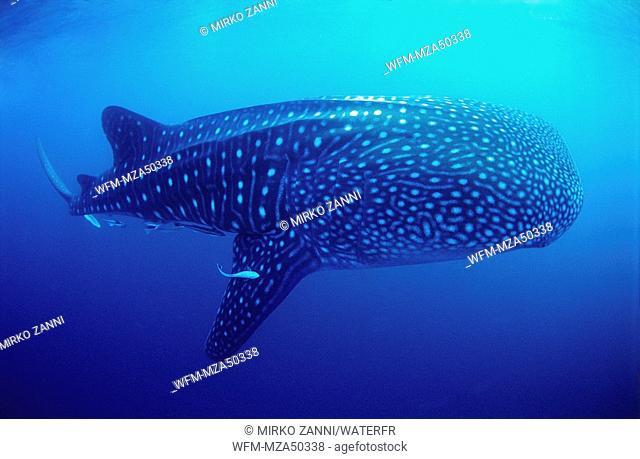 Whale Shark, Rhincodon typus, Indian Ocean, Seychelles
