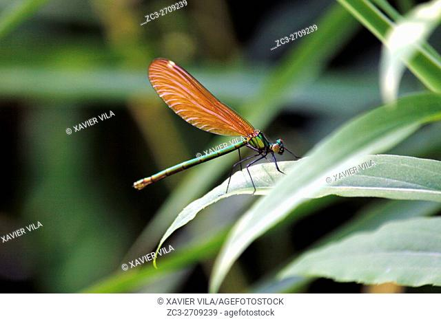 Orange dragonfly, Chartreuse, Isere, Rhone Alpes, Alps, France