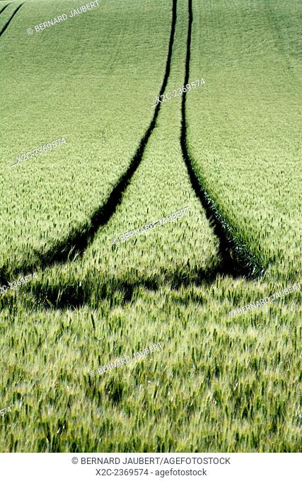 Tire tracks in a wheat field. Limagne. Puy de Dome, Auvergne. France. Europe