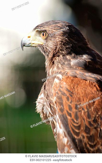 A south american Falcon Buteo