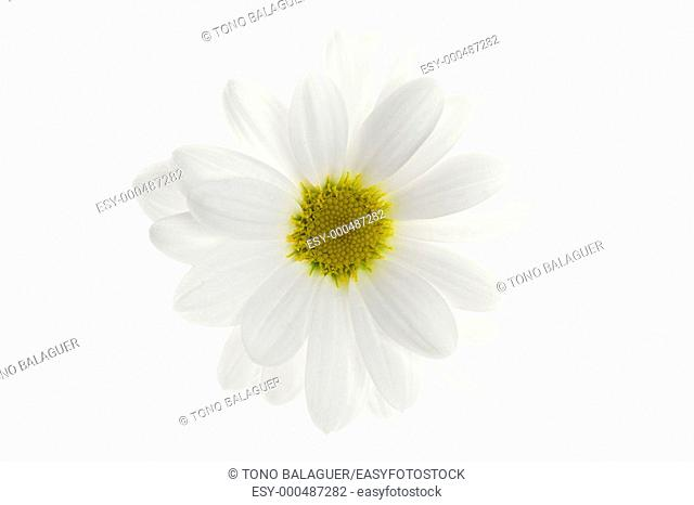 One white daisy flower isolated on white background