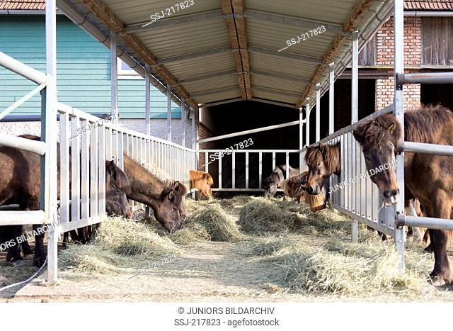 Icelandic Horse. Horses eating hay in an open stable. Germany