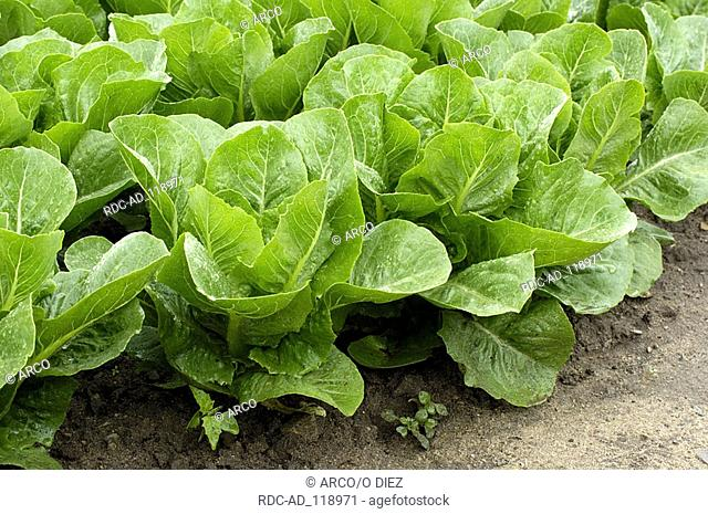 Lettuce Romana  'Remus' Latuca sativa var longifolia