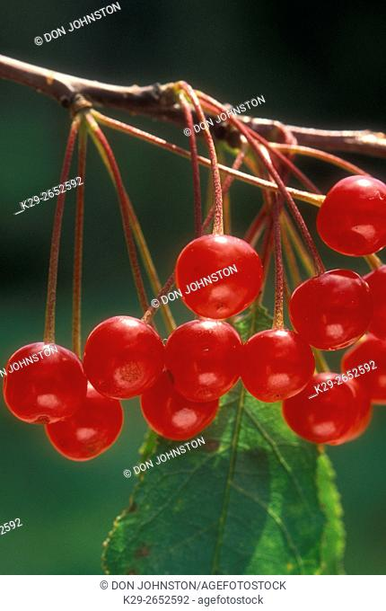 Pincherries (Prunus pensylvanica), Lively, Ontario, Canada