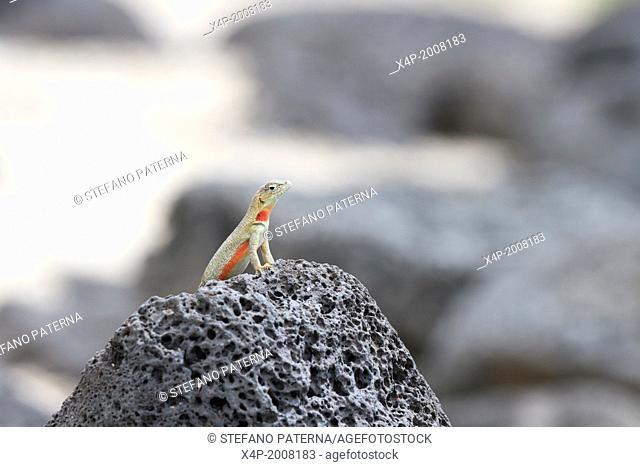 Galapagos Lava Lizard, Microlophus, San Cristobal Island, Galapagos Islands, Ecuador
