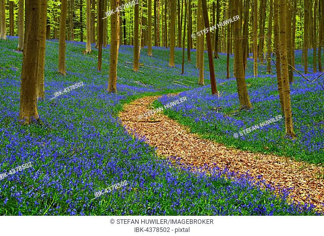 Path through forest, European beech (Fagus sylvatica), bluebells (Hyacinthoides), Hallerbos, Vlaams Brabant, Belgium
