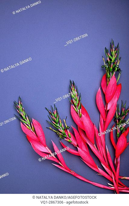 bouquet of pink Billbergia flower on a black background