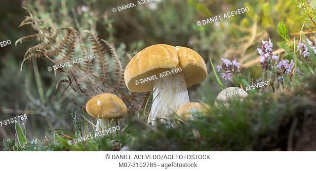 Calocybe gambosa, northern Spain