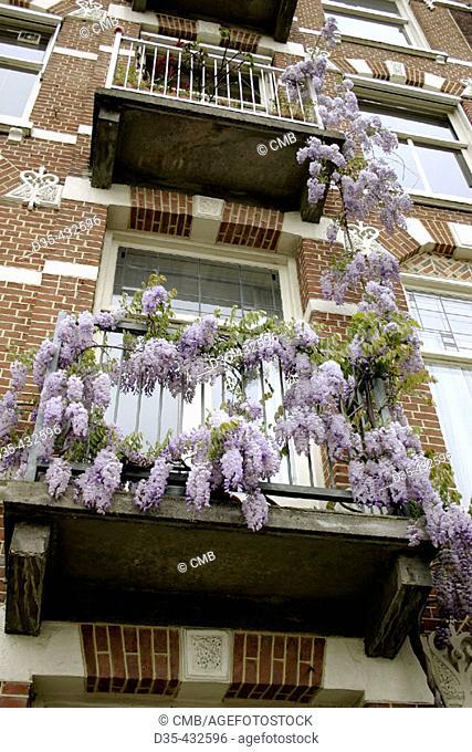 Violet wisteria (Wisteria floribunda), leguminosae