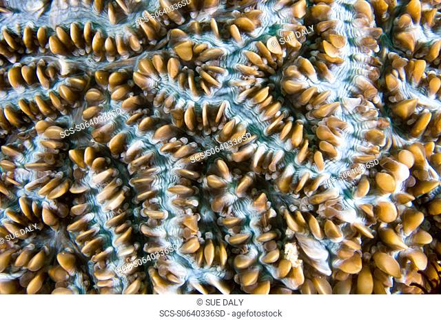 Bubble Coral Physogyra lichtensteini with polyps withdrawn Gili Islands, Lombok, Indonesia