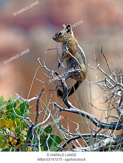 golden-mantled ground squirrel on lookout, Callospermophilus lateralis