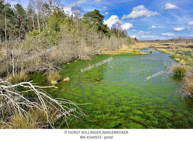 Silted moor pond with moss (Sphagum sp.) and bulrushes (Schoenoplectus lactustris), moor near Rosenheim, Raubling, Upper Bavaria, Bavaria, Germany