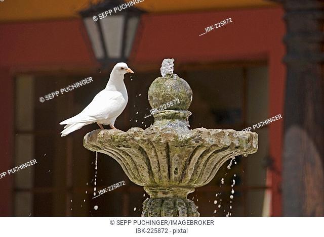 White dove is drinking water on a fountain in San Cristobal de las Casas Mexico