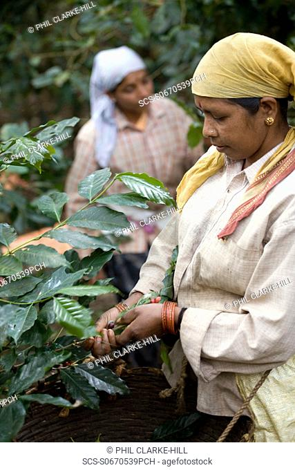 Mid 30°s thirties Indian female coffee plantation worker picking beans from a plant, Jyothi estate, Appangala, Coorg / Kodagu, Karnataka, India