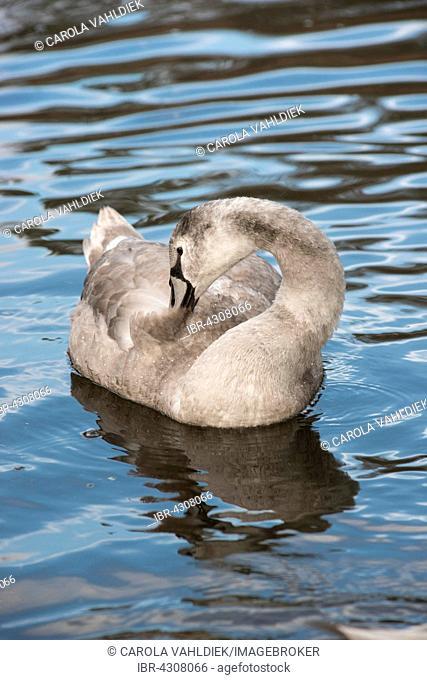 Mute Swan (Cygnus olor), cygnet preening on water, Bergpark Wilhelmshöhe, Kassel, Hesse, Germany