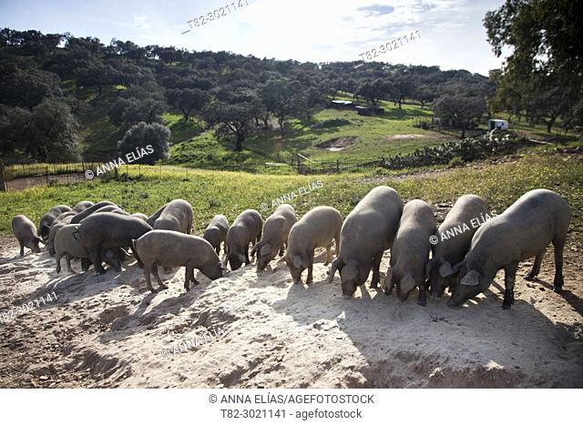 herd of Iberian pigs black paw grazing in pasture, Andévalo, Huelva, Andalucia, Spain
