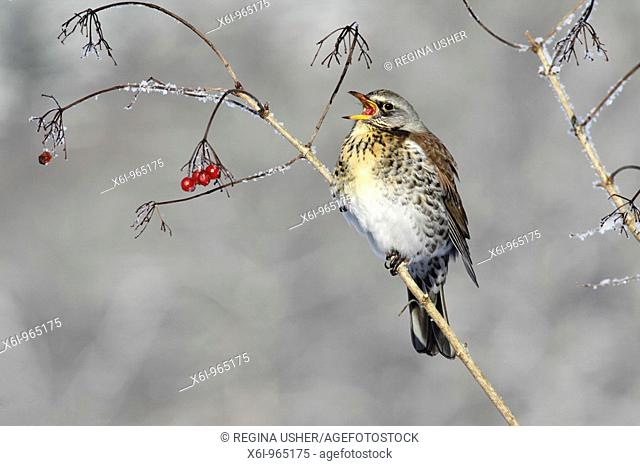 Fieldfare Turdus pilaris, feeding on Guelder Rose berries in winter, Germany