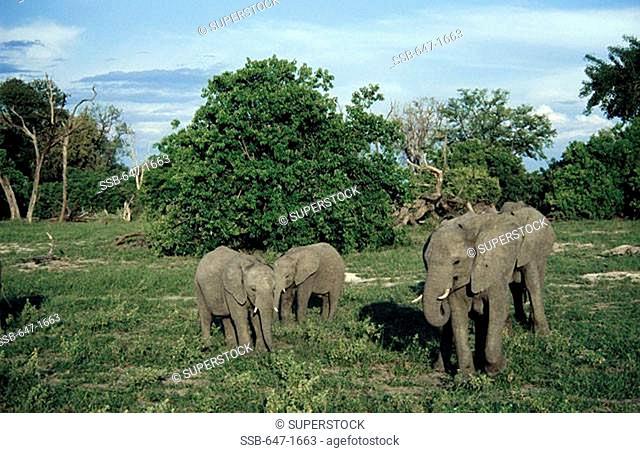 Elephants Loxodonta Africana South Africa
