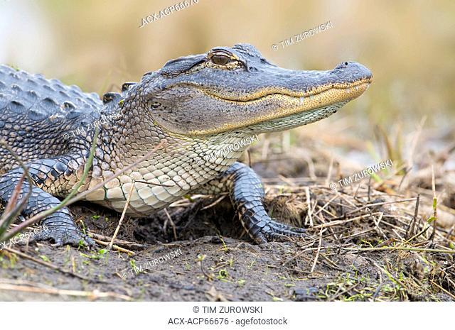 American Alligator (Alligator mississippiensis) - Florida