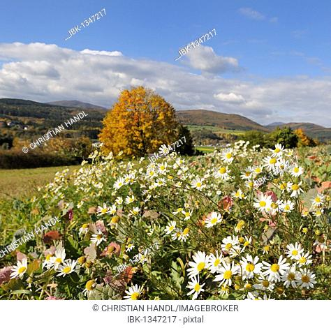 Autumn mood and blooming daisies, Berndorf, Triesting Valley, Lower Austria, Austria, Europe