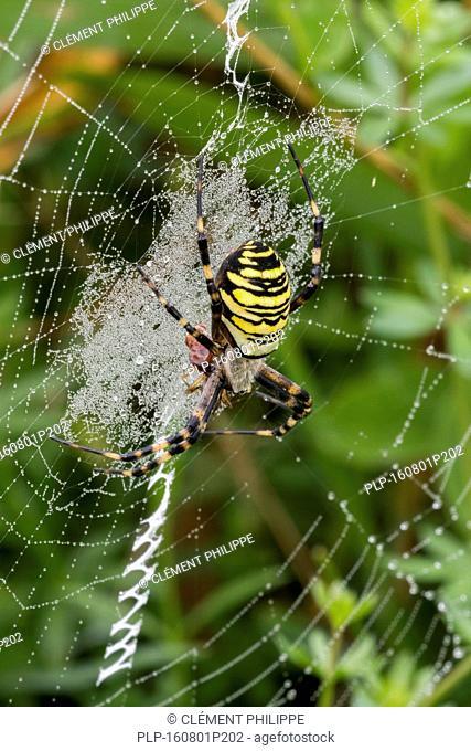 Wasp spider (Argiope bruennichi / Aranea brünnichii) feeding on caught insect in spiral orb web
