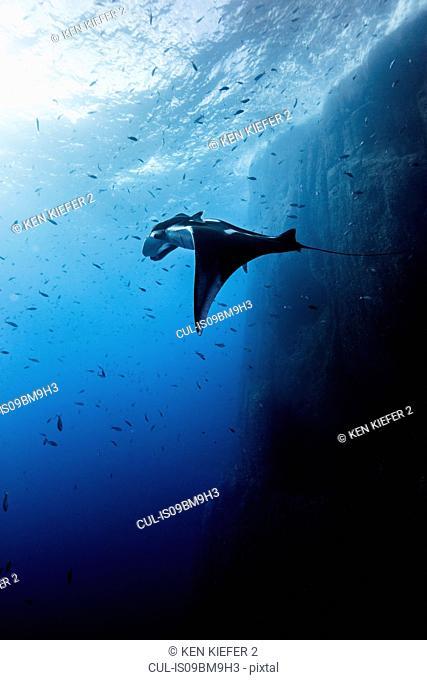 Giant oceanic manta ray, Socorro, Baja California, Mexico