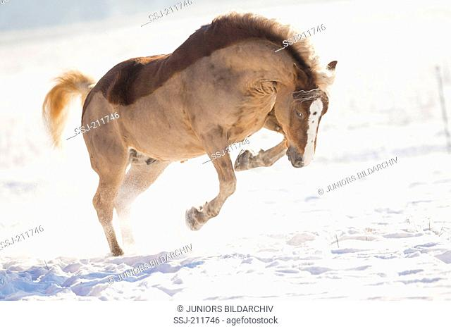 Black Forest Horse. Chestnut gelding bucking on a snowy pasture. Germany