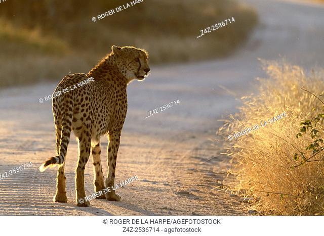 Cheetah (Acinonyx jubatus). Kruger National Park. Mpumalanga. South Africa