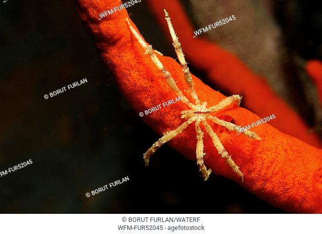 Sea Spider on Sponge, Pycnogonida, Alor, Lesser Sunda Islands, Indo-Pacific, Indonesia