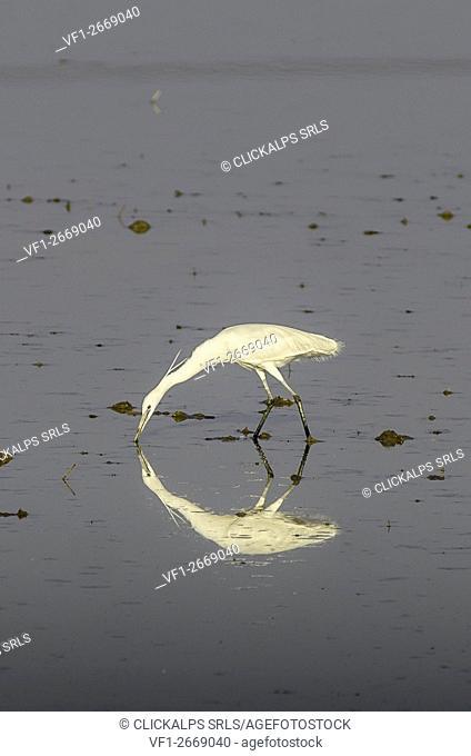 Egret (Lomellina, Lombardy, Italy)