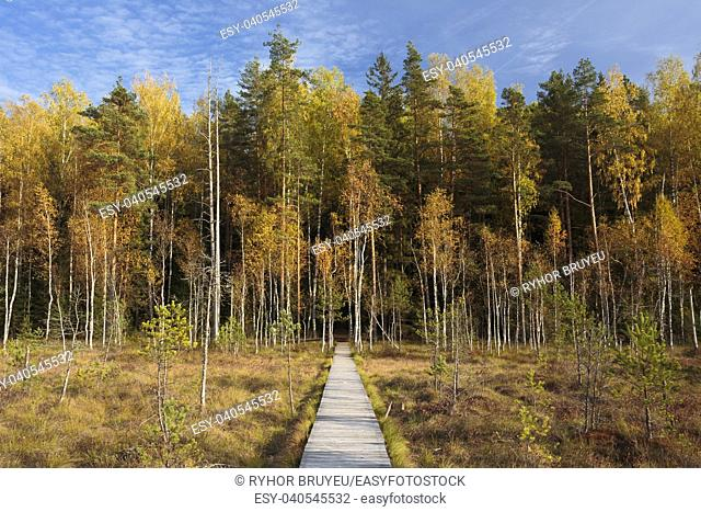 Wooden Path Way Pathway From Marsh Swamp To Forest. Autumn Season