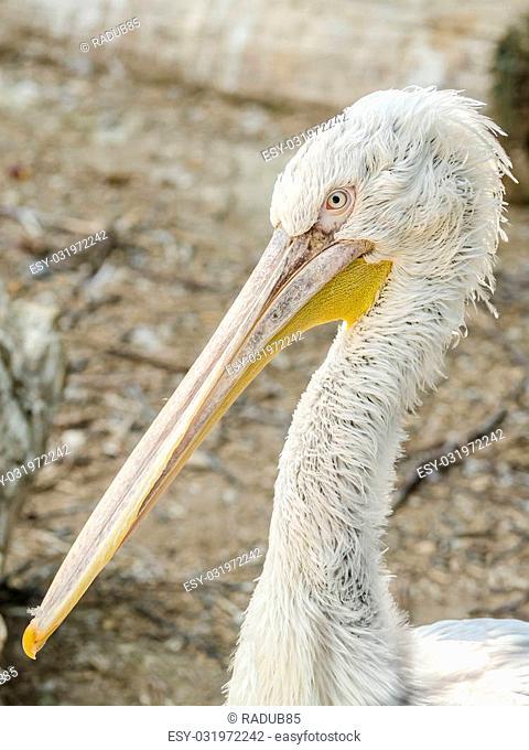 Pelican Portrait Close Up Photo