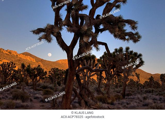 Moonrise, Joshua Trees and Rock Formations, Joshua Tree National Park, Calif. USA