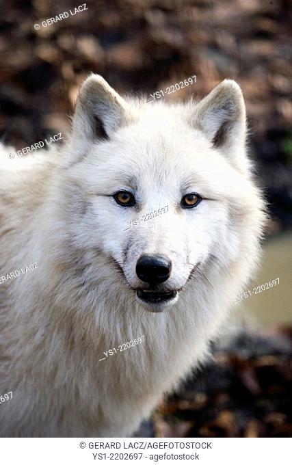 Portrait of Arctic Wolf, canis lupus tundrarum