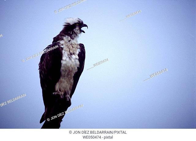 Osprey (Pandion haliaetus). Urdaibai, Biscay, Euskadi, Spain