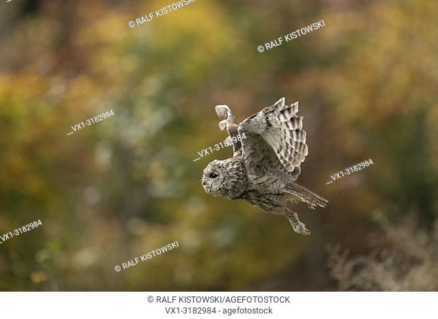 Tawny Owl ( Strix aluco ) in flight, flying in front of the edge of autumnal coloured woods, golden October.