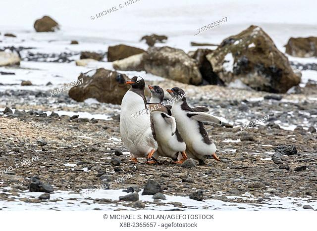Gentoo penguin adult being chased by hungry chicks, Pygoscelis papua, Brown Bluff, Tabarin Peninsula, Antarctica